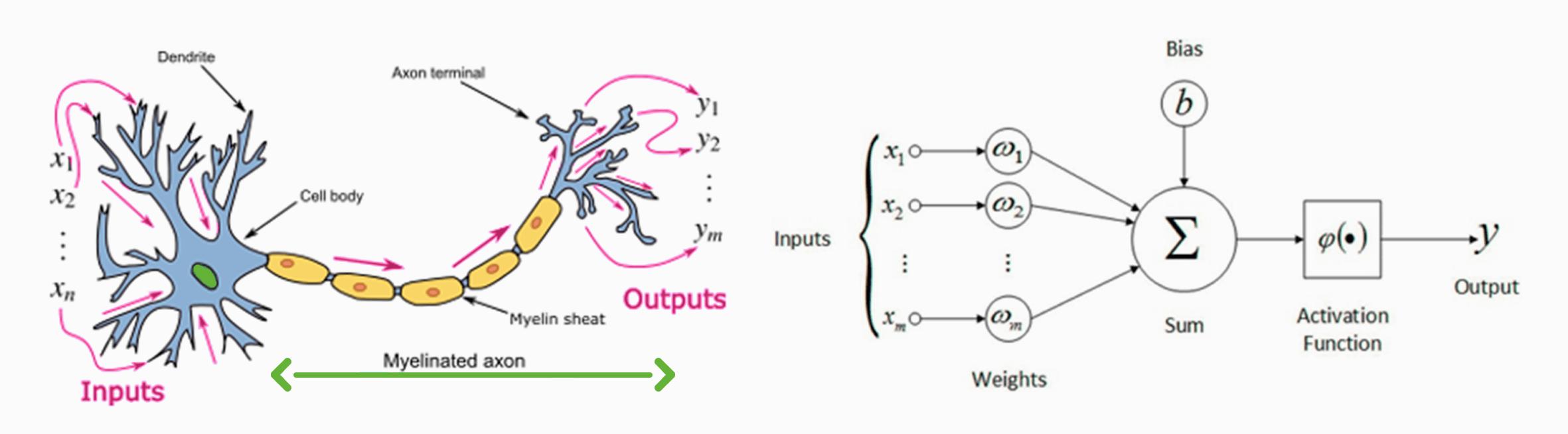 Vergleich von biologischem und künstlichem Neuron